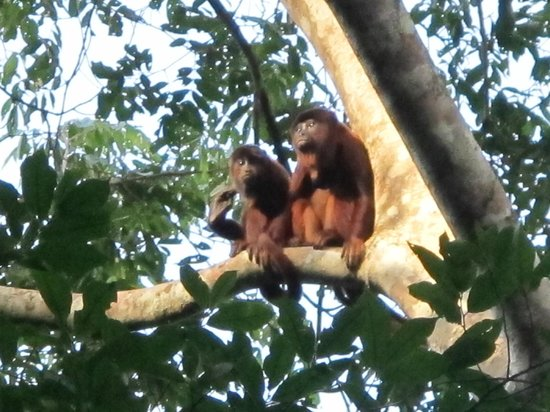 Amazon Rainforest: Monkeys in the Amazon Rain Forest of Peru