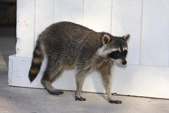 Hugh Taylor Birch State Park: Raccoon