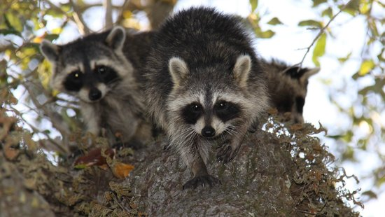 Hugh Taylor Birch State Park : Raccoons getting down from the tree