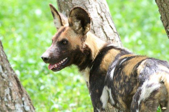 Ubuntu Camp, Asilia Africa : Wildhund