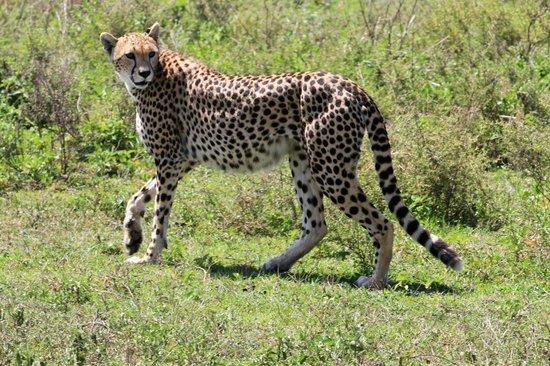 Ubuntu Camp, Asilia Africa: Gepard
