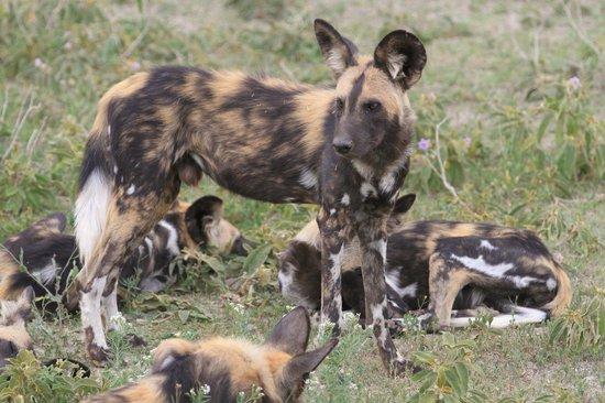 Ubuntu Camp, Asilia Africa : Wildhunde - Ein seltenes Erlebnis