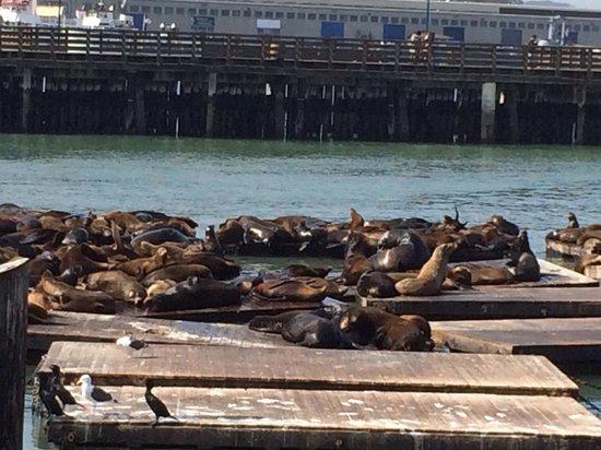 Pier 39 : Sea lions are entertaining