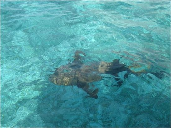 Hol Chan Marine Reserve: There are plenty of nurse sharks around without needing to feed them!