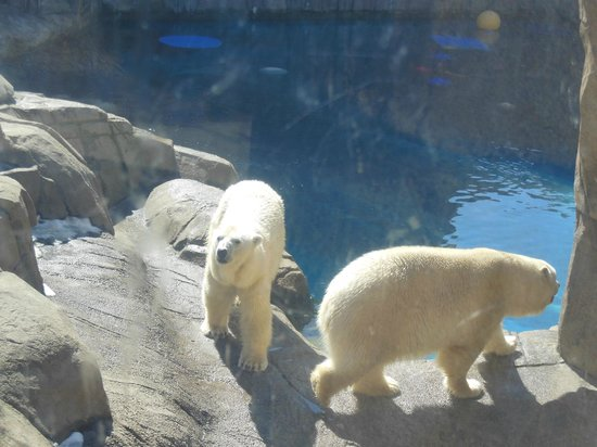 Pittsburgh Zoo & PPG Aquarium: polar bears