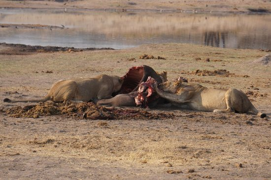 Wilderness Safaris Little Makalolo Camp: Lion Kill - a little too close for comfort!