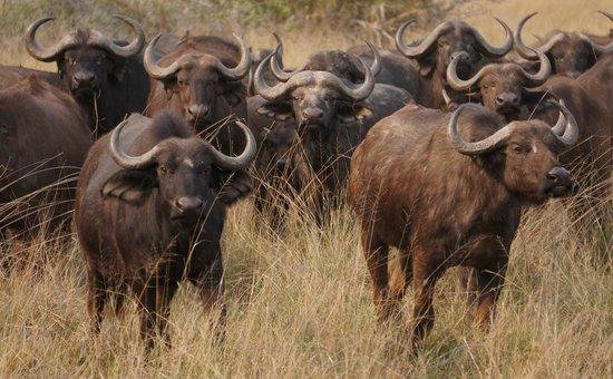 Little Tubu : Cape Buffalo