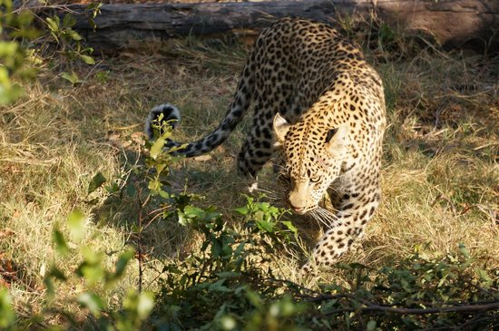 Little Tubu : Very close to a leopard