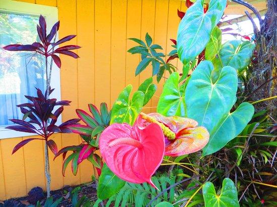 Steam Vent Inn & Health Retreat : Tropical Anthurium Plant outside Inn