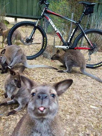 ‪لوميرا شاليه: One of our cheeky local wallabies‬