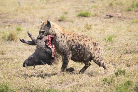 Hyena 2014 Review Hyena eating th...