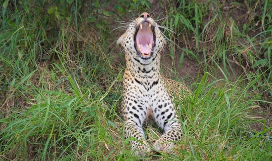 Rekero Camp, Asilia Africa: We sow Leopards in our arrival in the camp