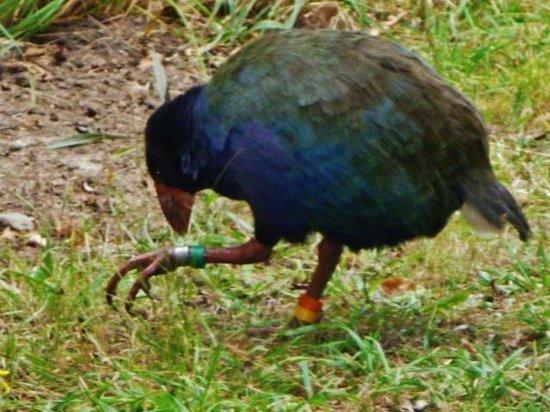 Tiritiri Matangi Island : takahe