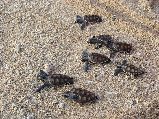 Siladen Resort & Spa: battesimo delle tartarughe