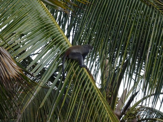 Turtle Bay Beach Club: Monkey on trees next to our rooms