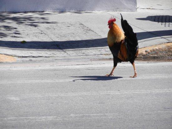 Duval Gardens: Coq en liberté dans les rues