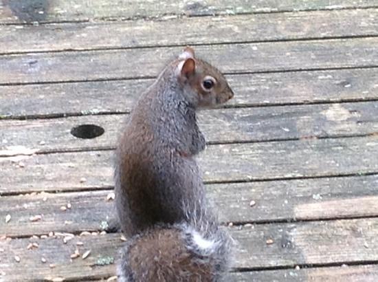 Bluestone National Park Resort: squirells at breakfast time