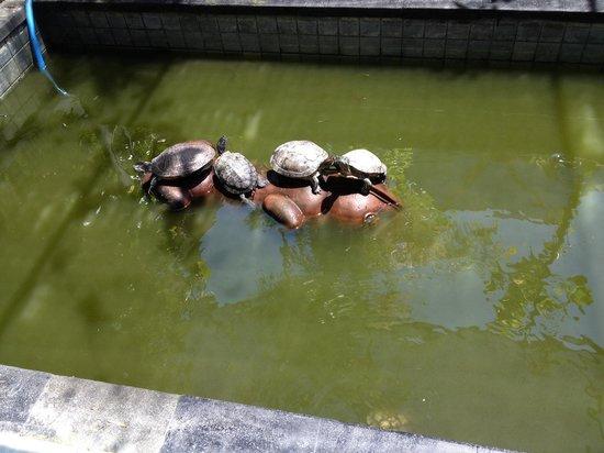 Bali Reski Asih Cottages : Turtles!