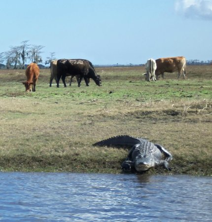 Alligator with the cows along the St. Johns River. - Picture of ...