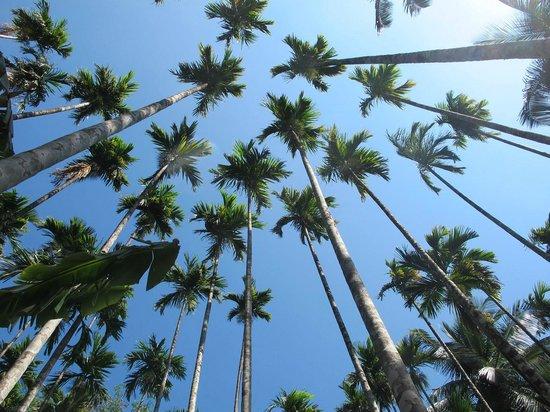 Gingerhill Nest : Coconut trees