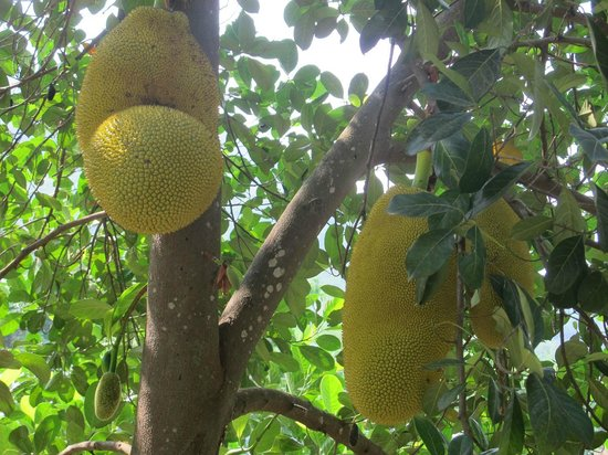 Gingerhill Nest : Jackfruit on the plantaion, there are many other trees incl rubber and cocoa tres
