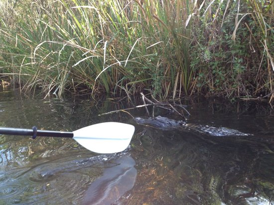 Everglades Kayak Company: Yes, that's a gator in them waters!!