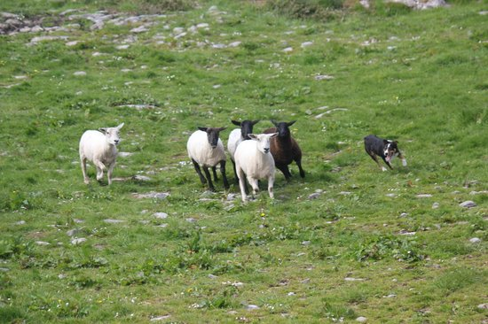 Caherconnell Stone Fort: Sheep dog/collie working hard