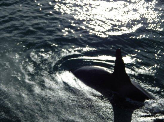Iceland Horizon: Killer whale from the bridge