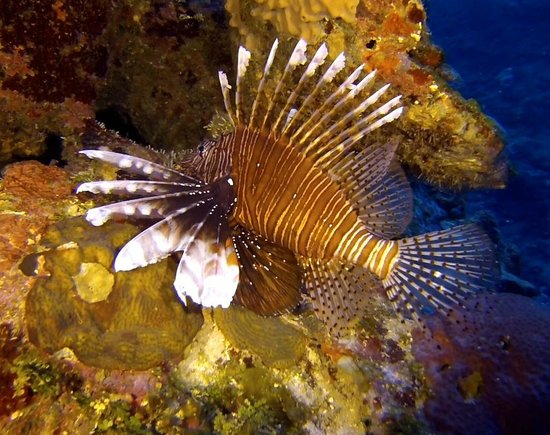 Utopia Village: Lion fish - not many but large