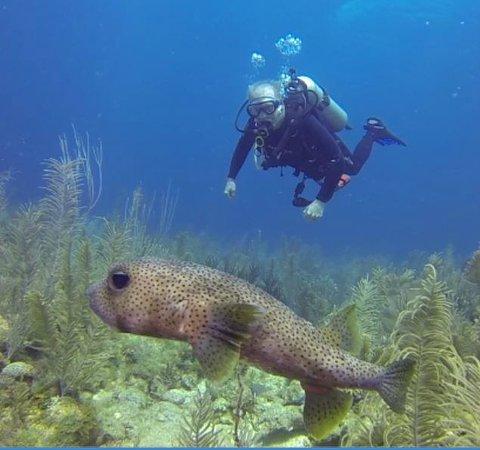 Utopia Village: large porcupine fish with diver