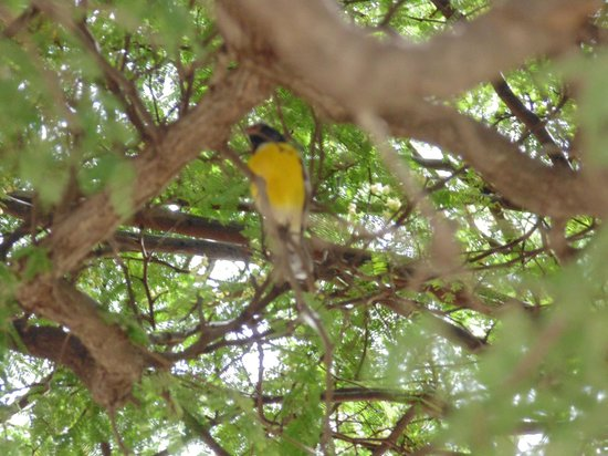 Santa Barbara Beach & Golf Resort, Curacao: Cute birds in the trees on the beach