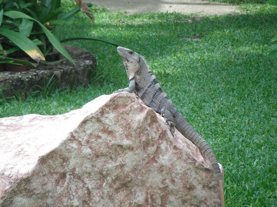 Sensimar Seaside Suites & Spa: A friendly Iguana posing for the camera