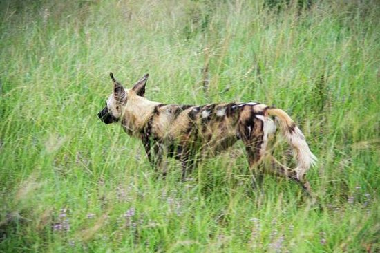 Motswari Private Game Reserve: wild dogs