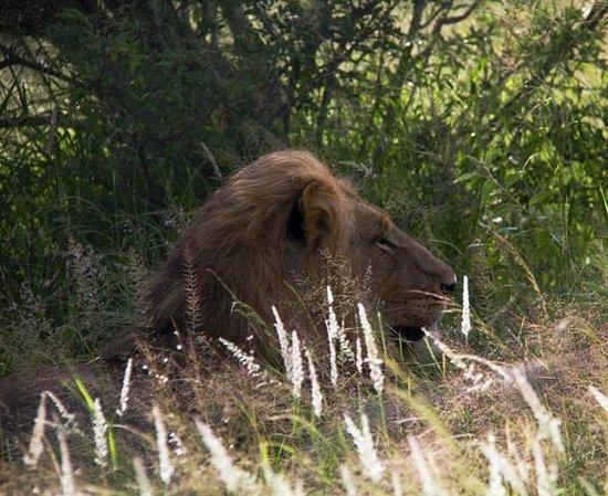 Motswari Private Game Reserve: Lion