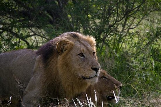 Motswari Private Game Reserve: Lion