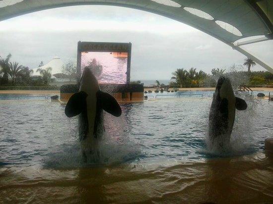 Loro Parque: Orca Ocean