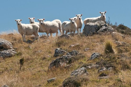 Port Hills: Friendly critters on the Crater Rim Walk.