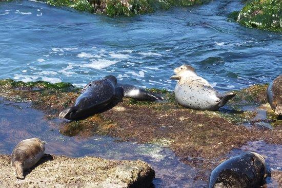 Shell Beach Tide Pools: Seals on Shell Beach