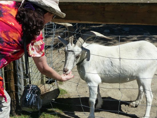 Wai ariki Farm Park, Cafe & Gallery: Feeding a goat at Wai Ariki