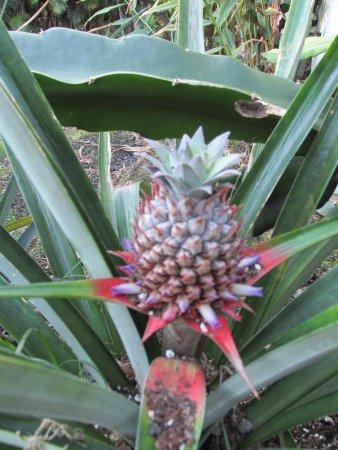 Aaron's Cottage: Fresh grown pineapple...yummm!!!!
