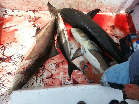 Rock Solid Fishing: Cobia everywhere!