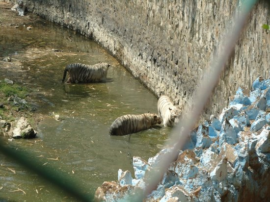 Arignar Anna Zoological Park : Royal Bengali white Tigers
