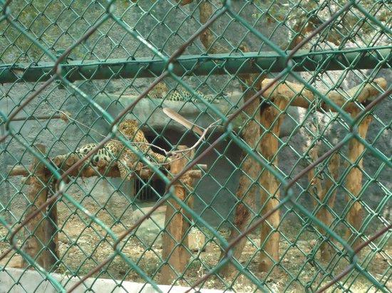 Arignar Anna Zoological Park: Leopards