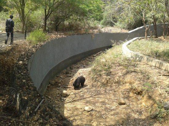 Arignar Anna Zoological Park: The Bear