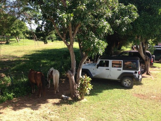 "Hector's by the Sea: ""The Mango"": the horses came every morning to eat fruit dropped overnight from the trees"