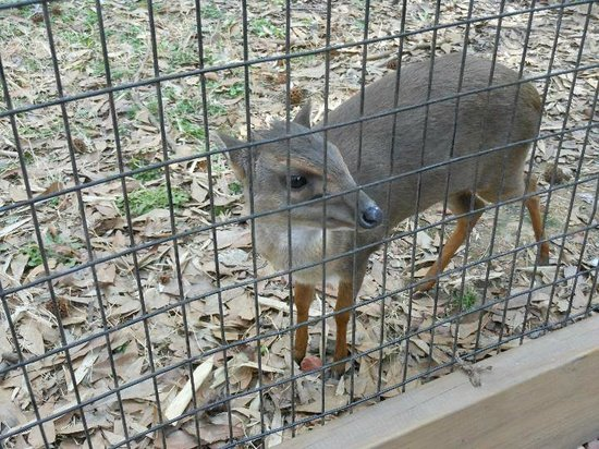 Birmingham Zoo: This is a Blue duiker, looks like a baby deer, nope but it is apart of the antelope family.