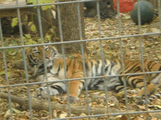 Luray Zoo - A Rescue Zoo: The Luray Tiger