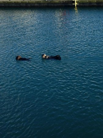 Chinooks Waterfront Restaurant : Otters frolicking in the bay right outside the window.