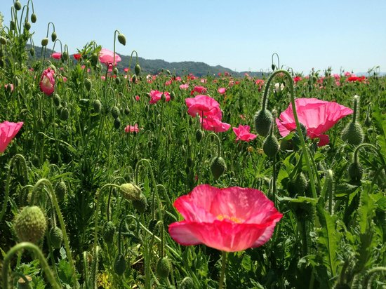 Kasaoka, Japan: Poppy Festival