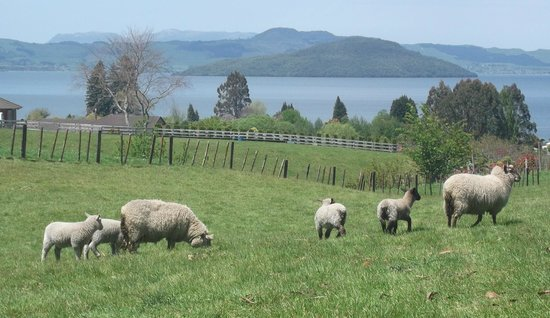 A Panoramic Country Homestay: sheep and view